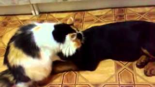 Cat Diligently Washes Rottweiler - Funny Cats