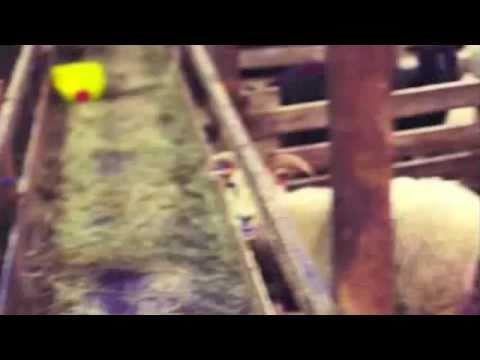 Petit Mouton - El Gaouli [Non officiel]