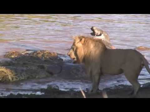 Male Lion Roar Sounds Like Harley video