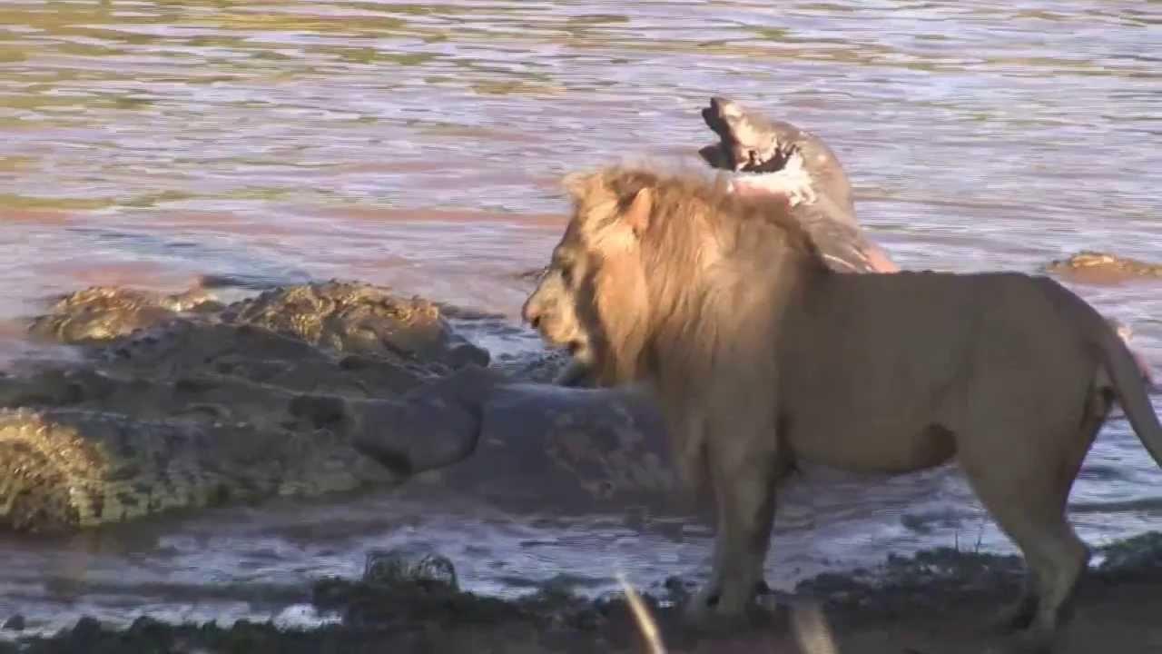 Male Lion Roar Sounds Like Harley - YouTube - photo#44
