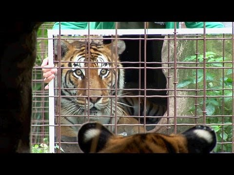 Mirrors and Cats - Big Cats + Mirrors = Funny!