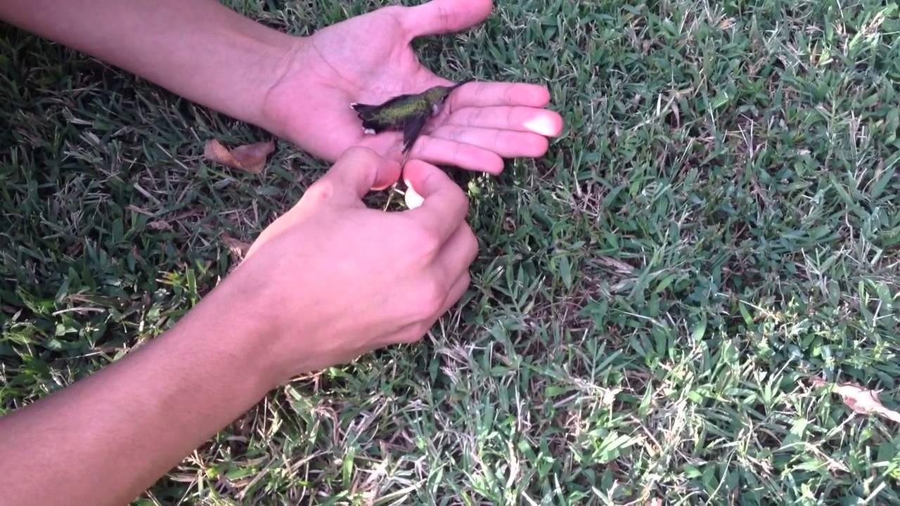 Sauvetage d'un colibri