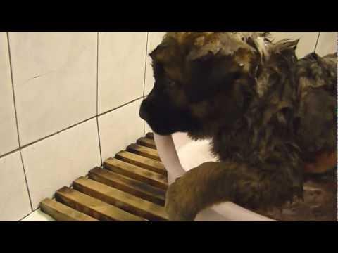 Купаем щенка кавказской овчарки / Bathe a puppy Caucasian Shepherd