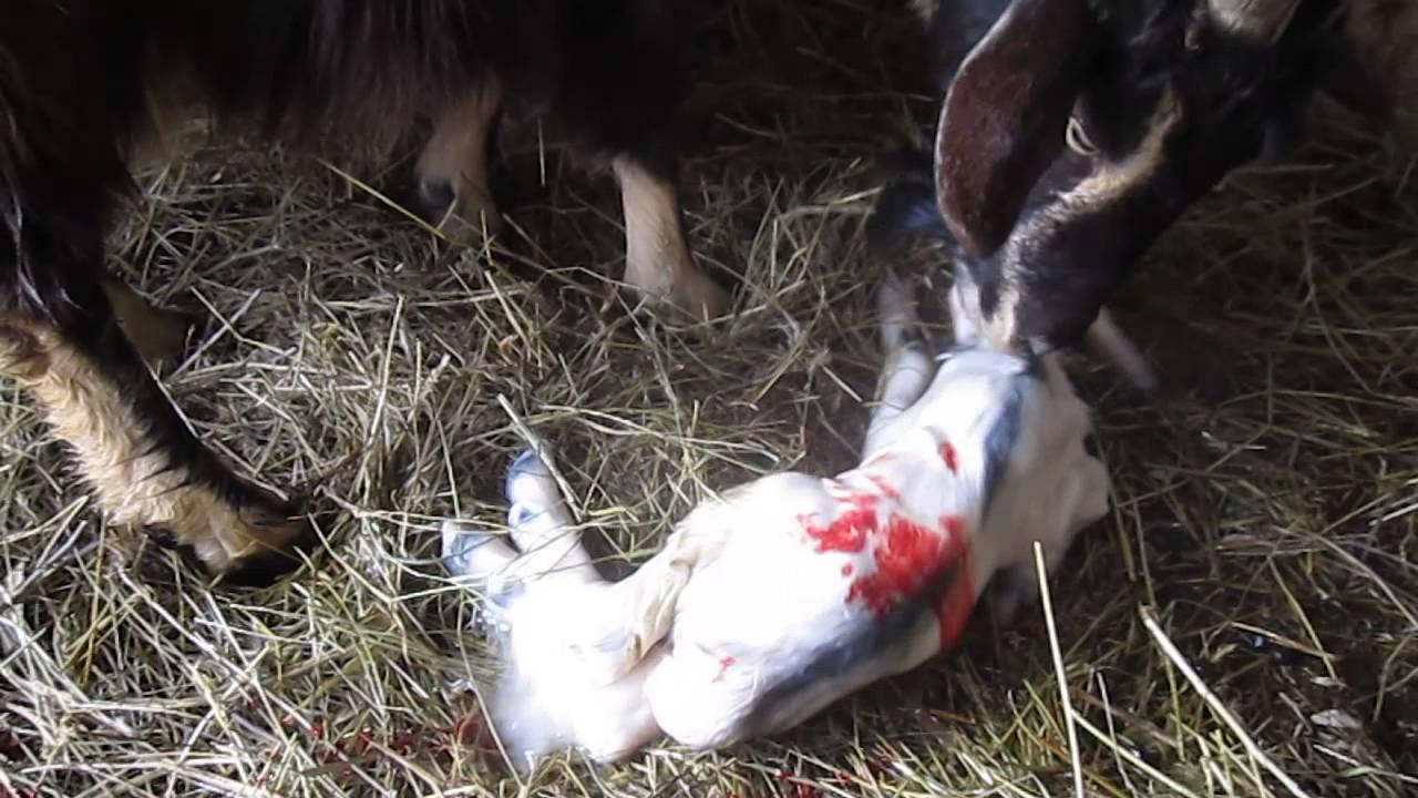 После того как овца родит что делать