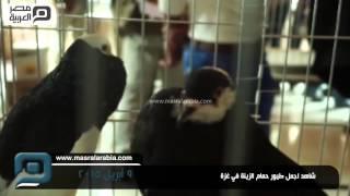 مصر العربية   شاهد اجمل طيور حمام الزينة في غزة