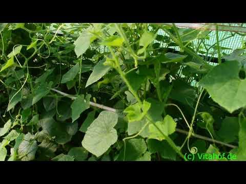 Unser Gewächshaus im Juli - Kiwano-Paprika-Zucchini