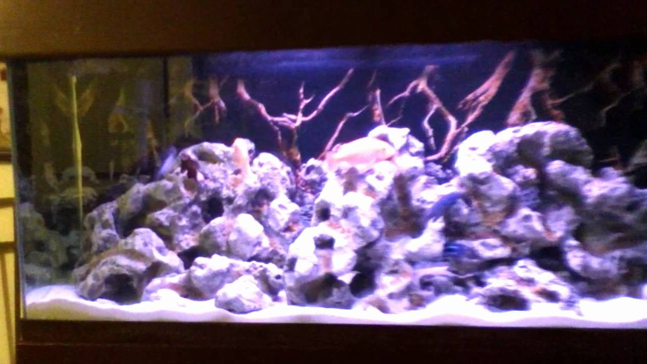 African cichlid aquarium 55 gallon update more rocks for African cichlid rock decoration
