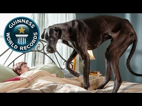 World39s Tallest Dog - Meet The Record Breakers - Guinness World Records