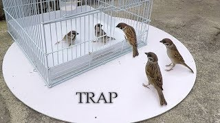 Can we catch sparrows with bird cages? - Cage bird trap