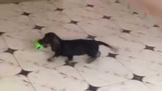 Wire standard dachshund female Esma Iz Novo-Peredelkino (for sale)