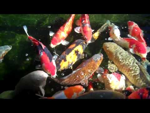 ricshaw's Front Koi Pond.mp4