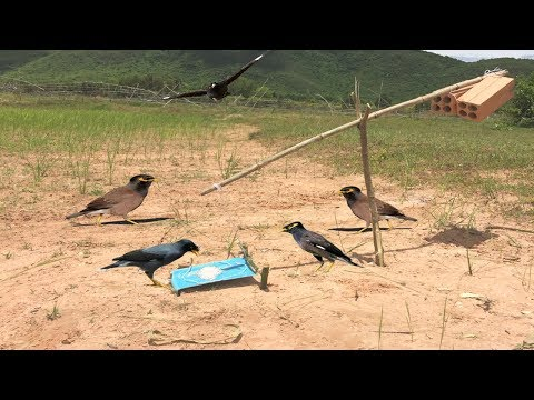 Awesome Quick Bird Trap Using PVC - How To Make Seesaw Snare Bird Trap PVC That Work 100%