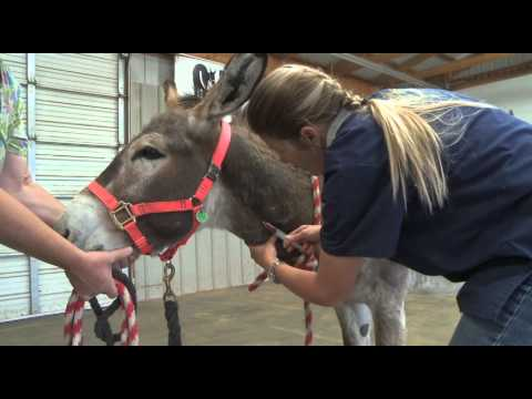 Donkeys Are Not Small Horses A Veterinary Guide To Jack Castration video