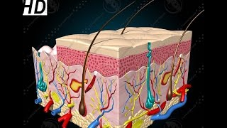 Anatomy and Physiology of Integumentary System Skin