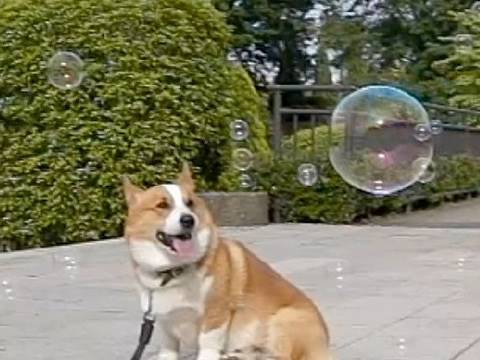 (HD) Bubbles / シャボン玉 20100522 Goro@Welsh corgi