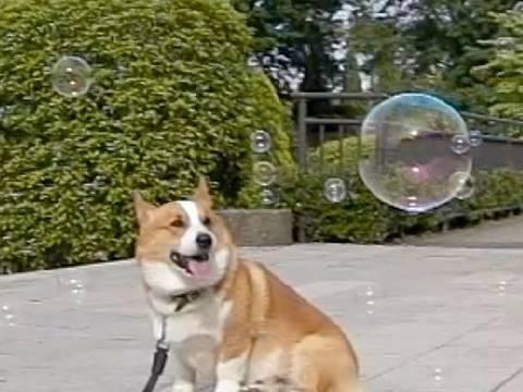 (HD) Bubbles / シャボン玉 20100522 Goro@Welsh corgi