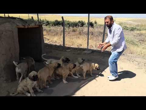 malaklı yavruları 60 günlük boncuğun yavruları