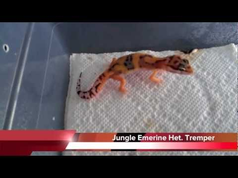 LEOPARD GECKO UPDATE! Daytona 2012 Reptile Expo Pick-Ups! DIY How to Hides!