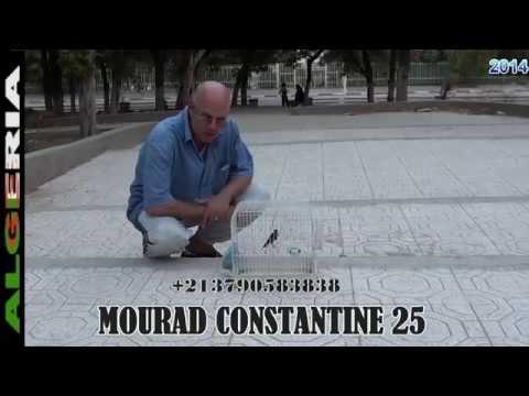 Chardonneret  Phénomène  2014 ملك الحسون العالمي و الجزائري  HD