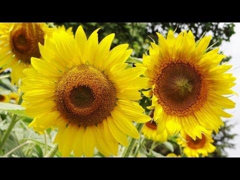 Buttonwoods Sunflowers & Corn Maze - Griswold, CT - DJI Phantom