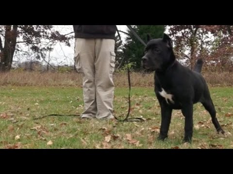 Best Dog Training In Columbus Ohio 5 Month Old Cane Corso Zora