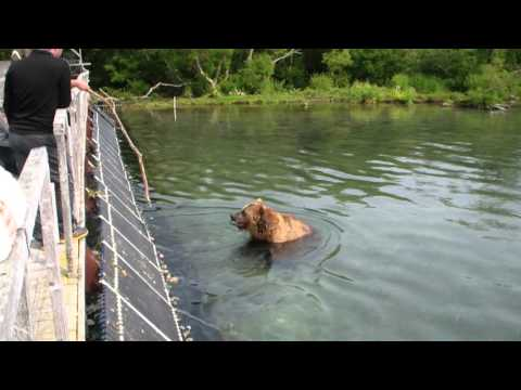 ловля медведя на шпильку видео