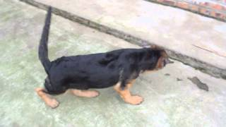 Bán chó becgie đức cái 2 tháng và 3 tháng 0984108983