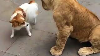 Brave Little Dog Fighting a Young Lion