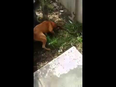 蛇と勇敢に戦う犬がたくましすぎる!