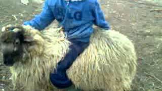 Kos lovaglás Kunbaja