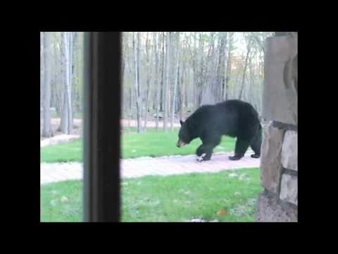 They're Baaack - Black Bears Return - Wisconsin Springtime