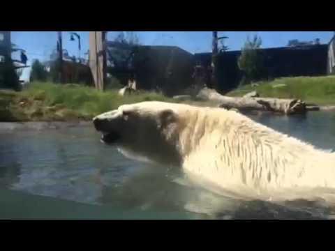 Polar bear Luna at The Buffalo Zoo's Arctic Edge exhibit