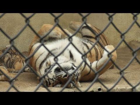 絶滅危惧種 仰向けで寝るお母さんアムールトラ 安佐動物公園(2/4) 2011.6.8
