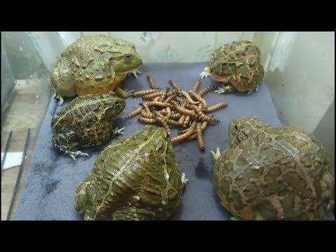 【観覧注意】ジャンボミルワーム50gをアフウシ5匹で?何分で食べきるか、やってみた。Feeding a Pyxicephalus adspersus