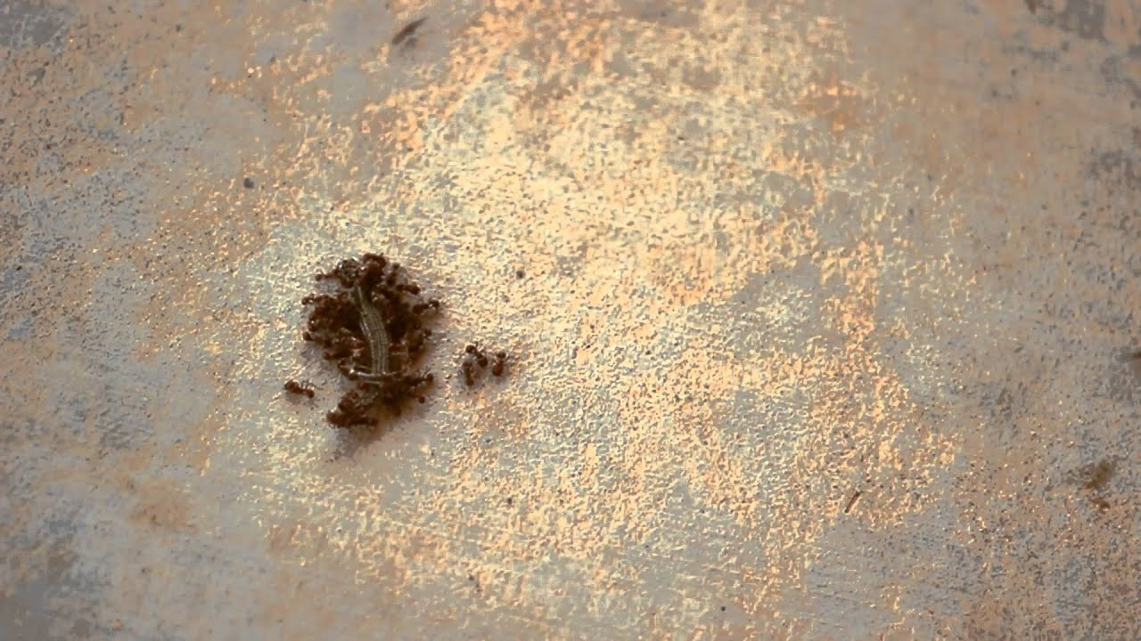 Lizards Eat Ants Ants Eating Lizard Timelapse