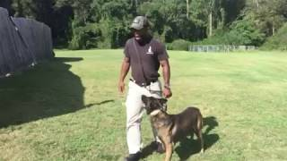 K9 Training Dog Duco Demonstrates Cat Socialization Training | Custom Canine Unlimited