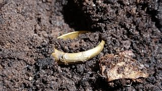 Metal Detecting Germany: AMAZING MEDIEVAL GOLD!!