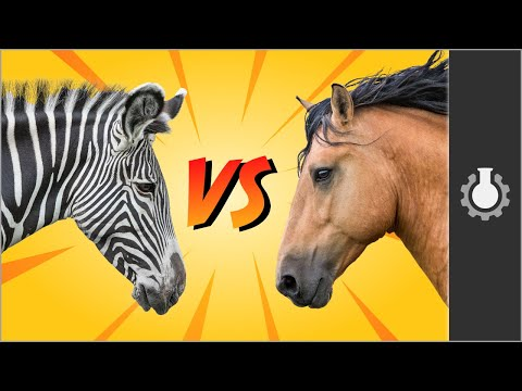 Zebra vs Horses: Animal Domestication