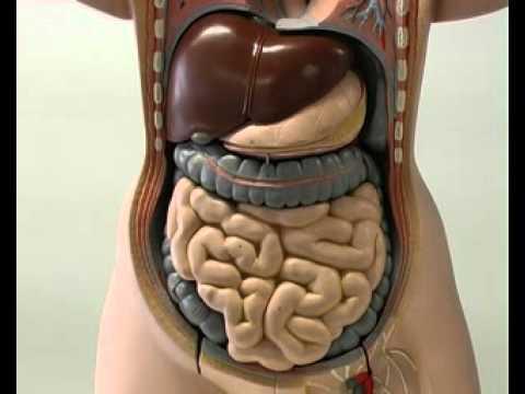 come è fatto il corpo umano femminile