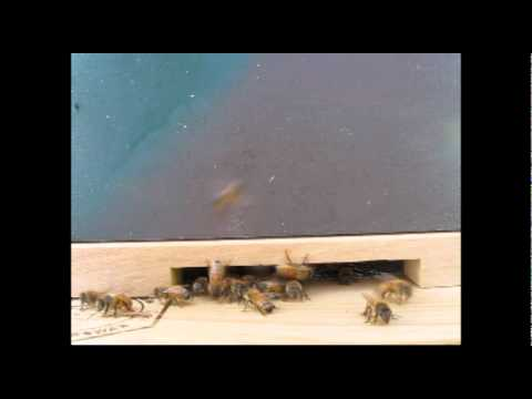 Bee Cam - What's going on at the entrance to one of my beehives.