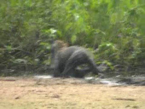 Jaguar vs Capibara in Pantanal