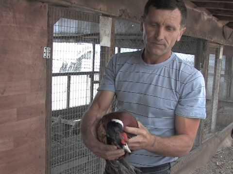 Разведение фазанов, село Черновка