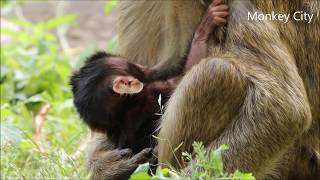 Amari gets bad effects on health after giving a birth to baby monkey Lori, Monkey City Part 18