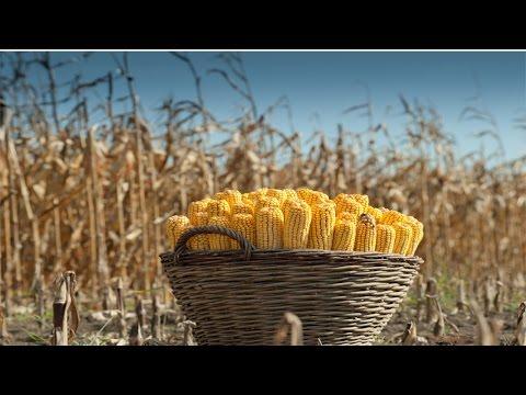 Clique e veja o vídeo Produção de Milho em Pequenas Propriedades - Colheita