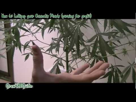 How to: Lollipop your Cannabis plants