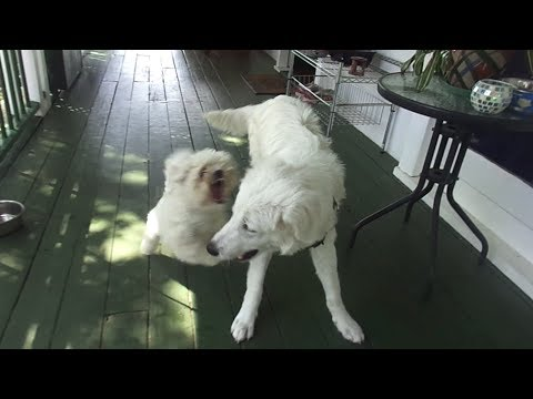Gay Dogs! - 20th January 2013 video