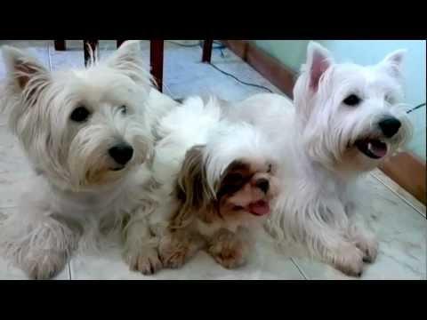 (  EM  HD  )  wester terrier  - FLOR, JULIETA E MEG - 2 parte  !!!