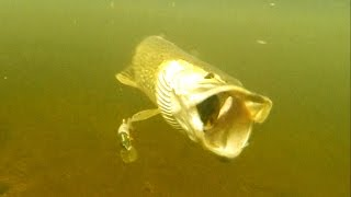 Fishing: pike vs perch lure comparison underwater attacks. Рыбалка щука на щуку и окуня атака.