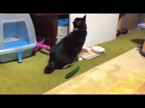猫きゅうり。