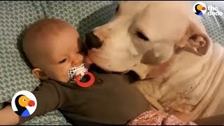 3-Legged Pit Bull With Cancer Loves His Human Siblings | The Dodo